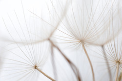Dandelion Umbrella Seeds