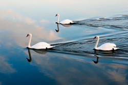 3 Swans gliding along the River Ouse