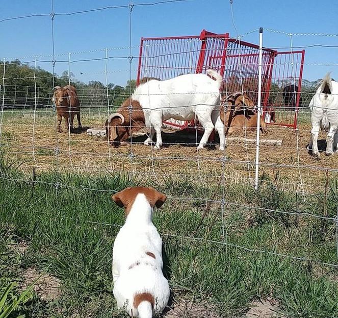 Goat watcher.jpg
