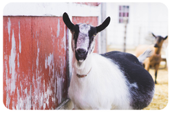 Dairy Goats