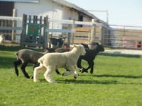 Lambs a leaping_edited.jpg