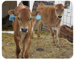 Newborn Calves