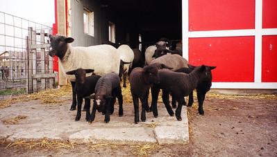 lots of lambs_edited.jpg