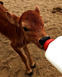 feed calves their night time bottle_edit