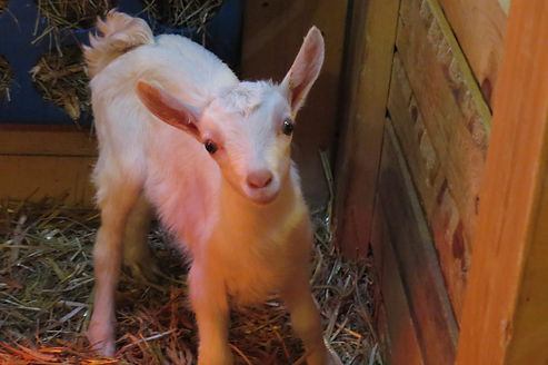 Our Critters, Cute Goat, Small
