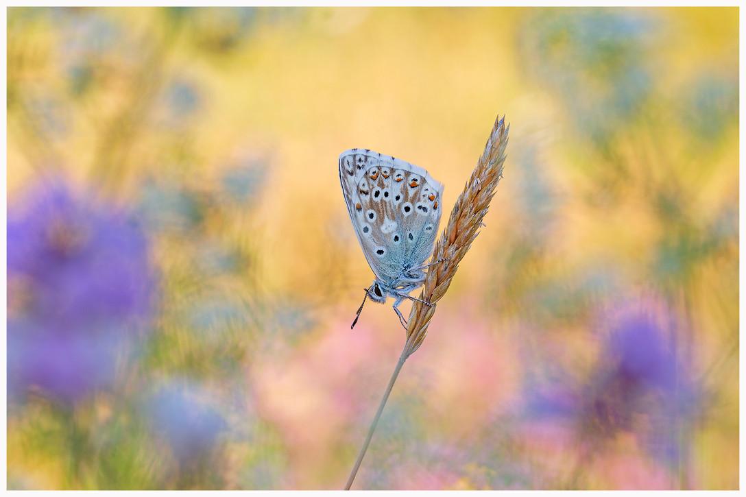 Chalkhill Blue2.jpg