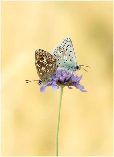 5. Couple on scabious