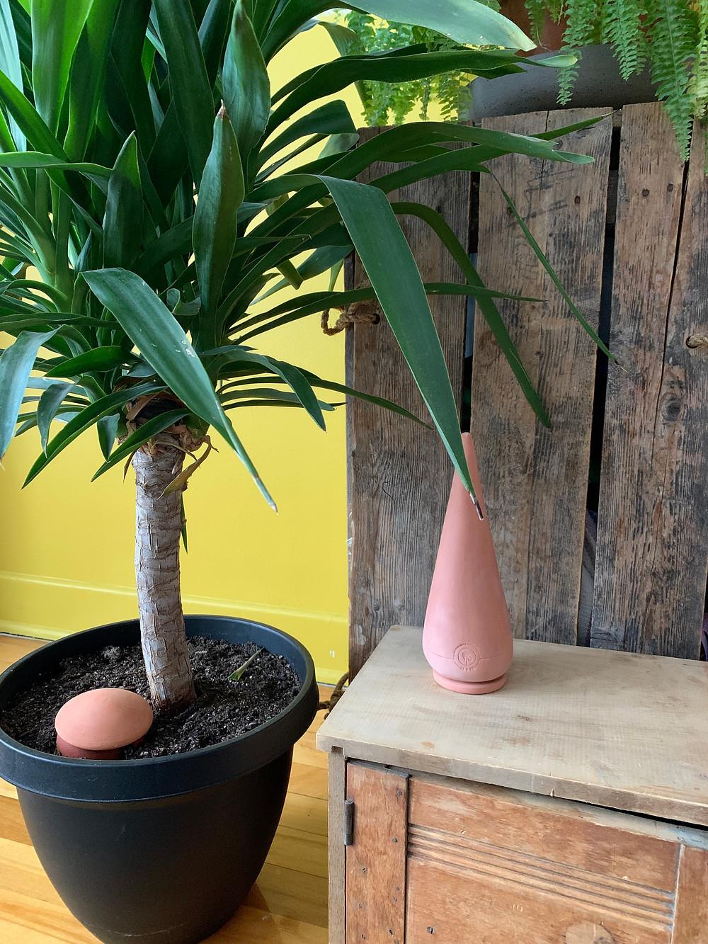 Planter un Oïa (olla) dans sa plante d'intérieur