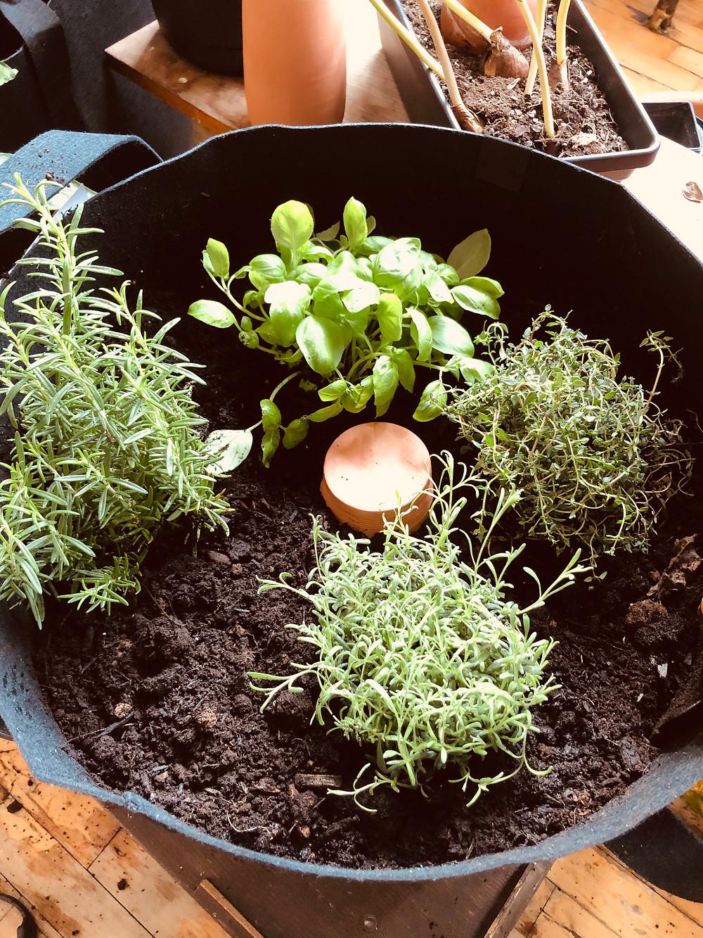 un Olla ou Oïa dans un pot de fines herbes