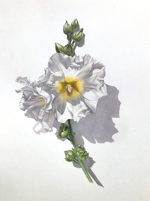 Beautiful botanical art watercolour by Billy Showell of a Hollyhock. Fine art.