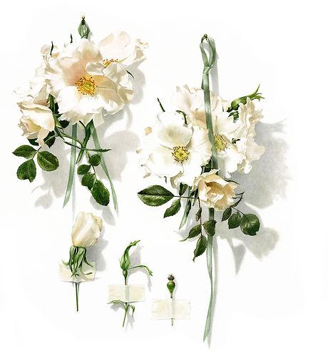 no 12. White Star, climbing rose  by Bi