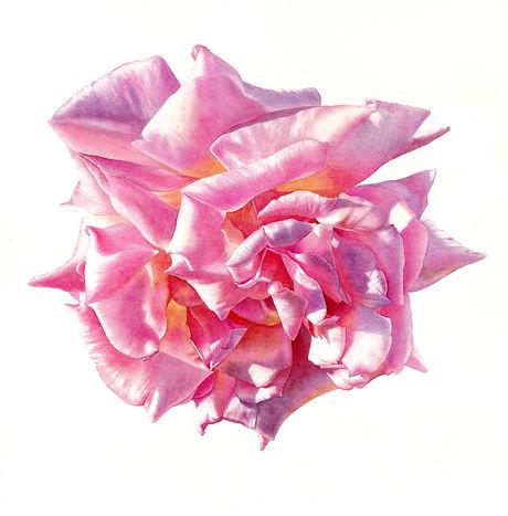 no 4. Evening pink rose  copy.jpg