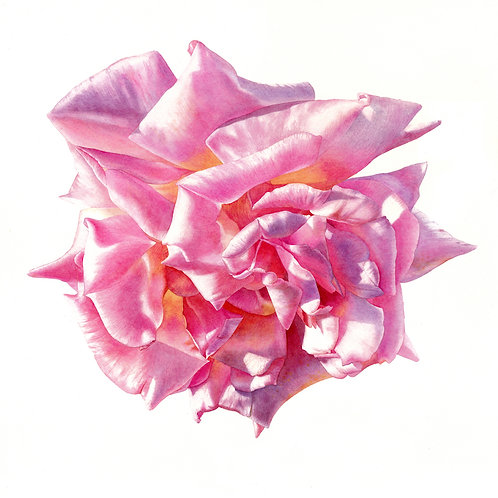 Incredible contemporary pink rose watercolour painting by Billy Showell. Fine art watercolour on cold pressed paper.