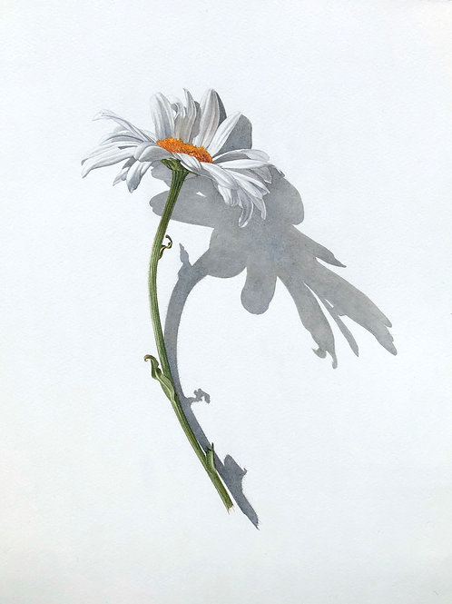Contemporary botanical floral art in watercolour of a white daisy by Billy Showell. Stunning art for a country home interior.