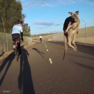 Suddenly, kangaroo: cyclist gets struck by animal in Australia
