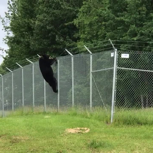 Black bear climbs barbed wire fence at Anchorage airport