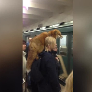 Woman spotted with fox resting on her shoulder in crowded Moscow metro station