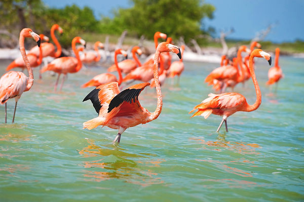 Celestún-Flamingos01.JPG