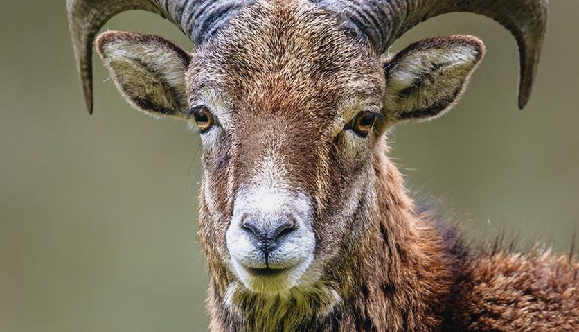 portrait-of-mouflon-sheep-male-on-hill-P