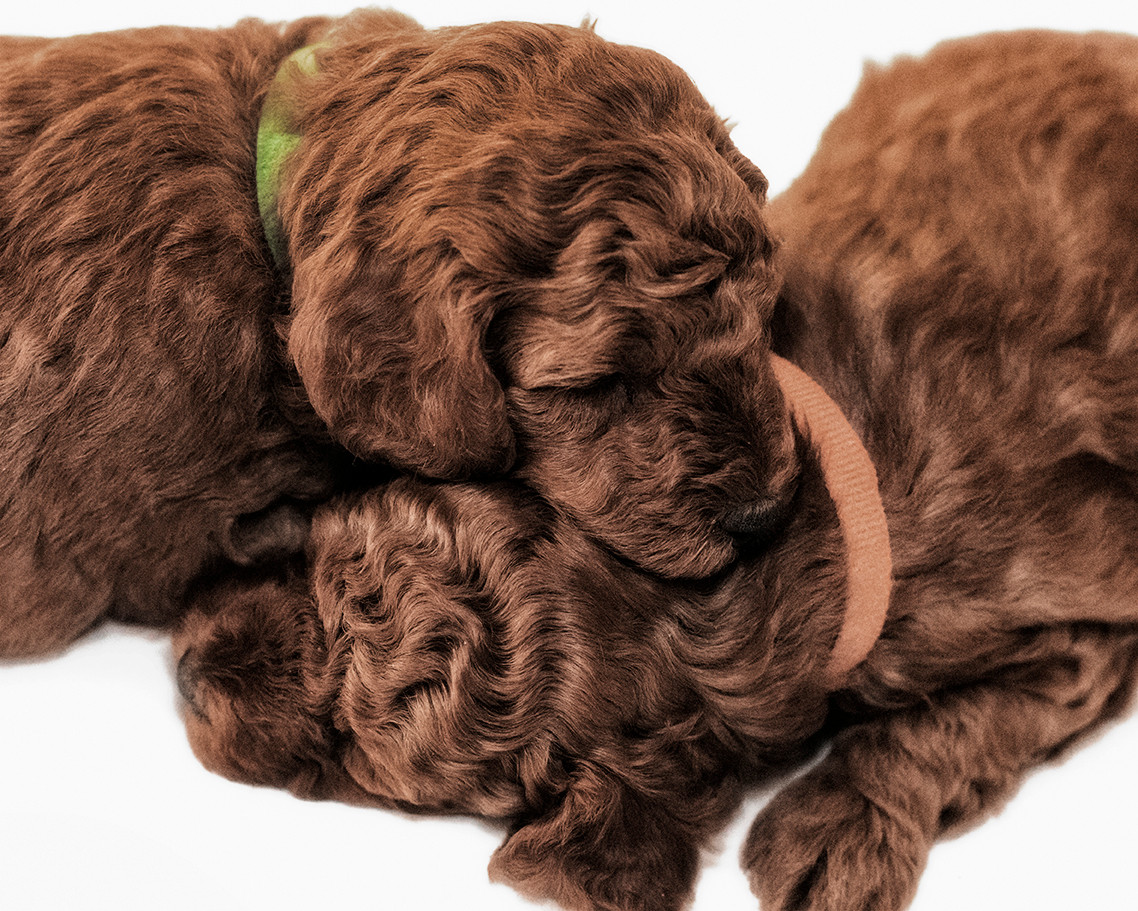 Fullscreen Page | Red Miniature Poodles & Miniature