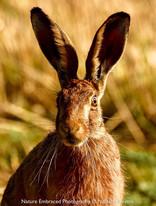 Alert Hare