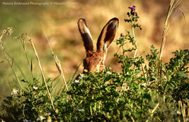 Peek-a-boo Hare