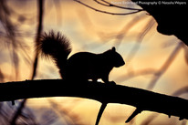 Squirrel silhouette at sunset
