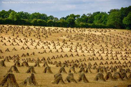 A Thatcher's Harvest