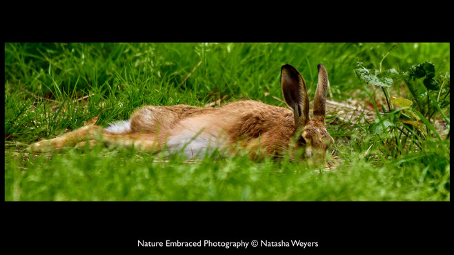 Snoozing Hare