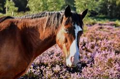Blue Eye Pony