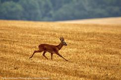 Deer Trot