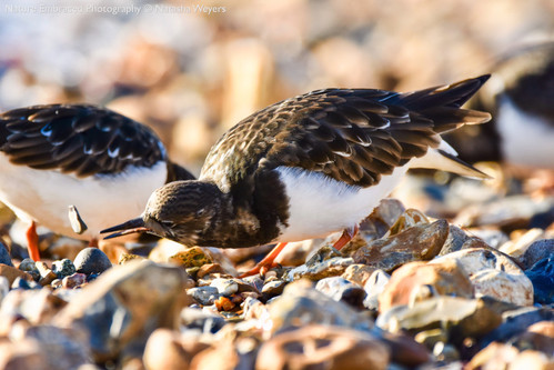 Turnstone doing what they do best