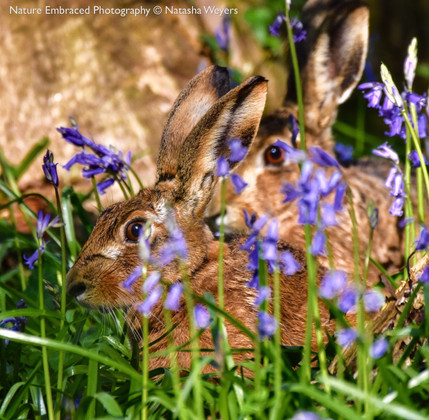 Two of my favourite things... Hares in Bluebells