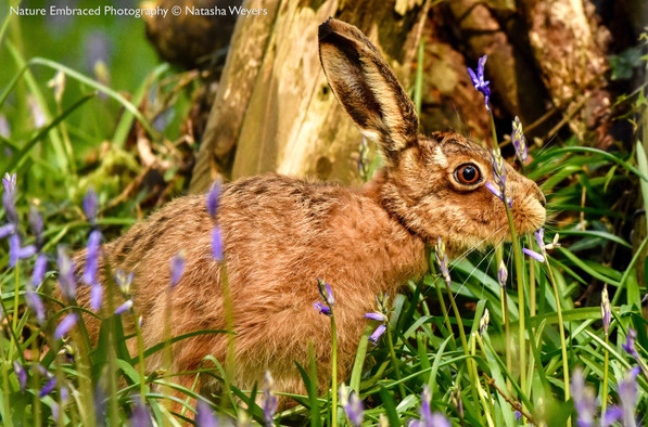 Hare in the Bluebells