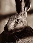 Bond Hare
