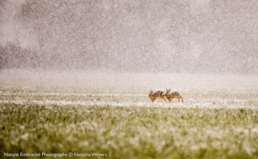 Hares in the snow blizzard