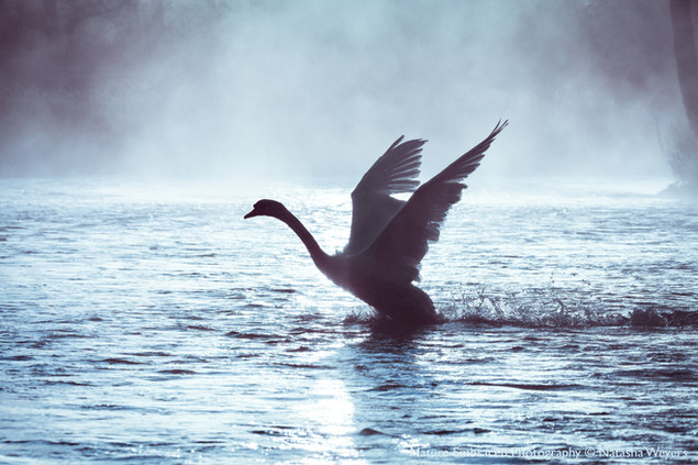 Ethereal Swan