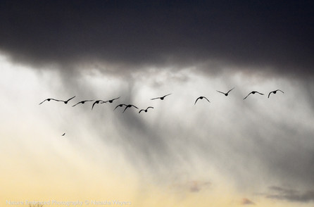 Geese and Storm Cloud