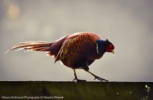 Pottering Pheasant
