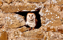 Barn Owl on the lookout