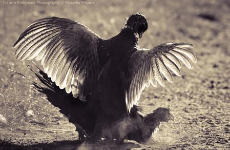 Pheasants Fighting
