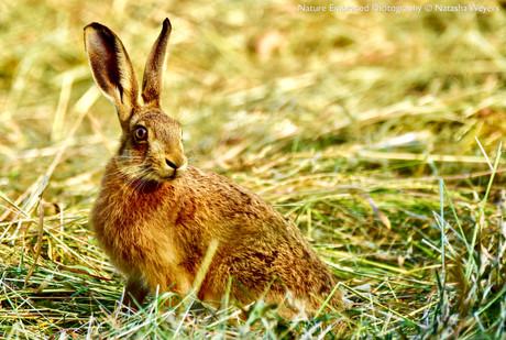 Summer Hare