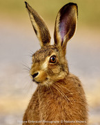 Young Hare (Leveret)