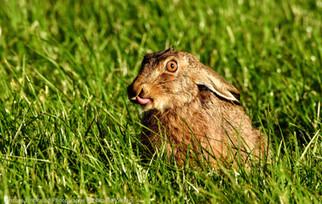 Rude Hare ;)