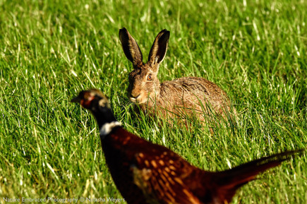 Hare with photobombing Pheasant