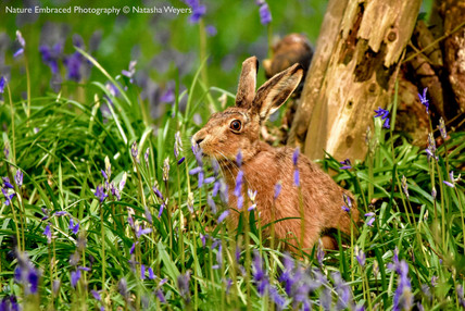 Hare smelling the Bluebells