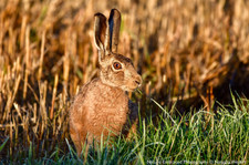 Harvest Hare