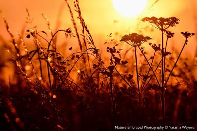 Field's Edge a Sunset