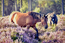New Forest Pony in the Heather