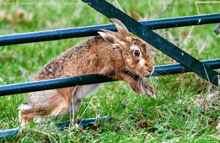 Athletic Hare